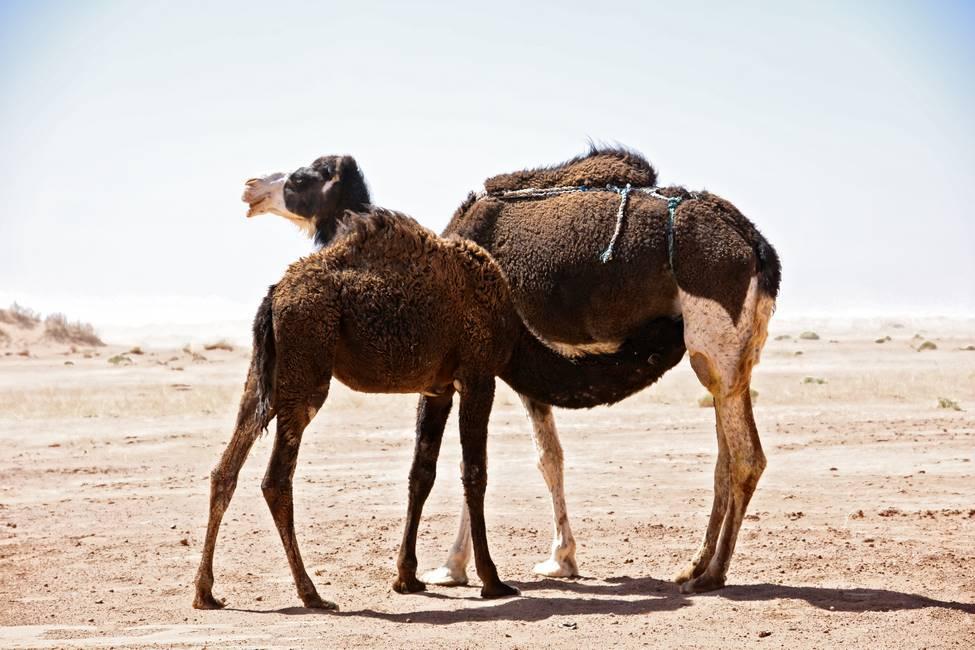 Chamelle et son chamelon entrain de téter dans le désert du Sahara proche de M'Hamid au Maroc