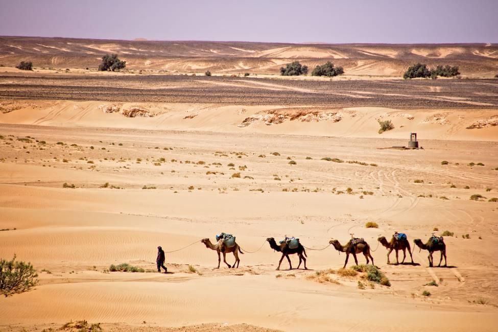 Chamelier et son troupeau de dromadaires dans le désert du Sahara au Maroc
