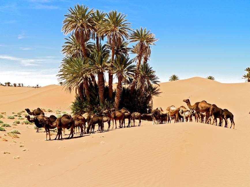 Troupeau de dromaidres dans les dunes du désert à M'Hamid au Maroc