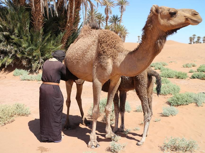 Chamelier entrain de traite une chamelle dans le désert au Maroc