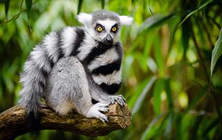 Lémurien dans le parc naturel d'Andasibe à Madagascar