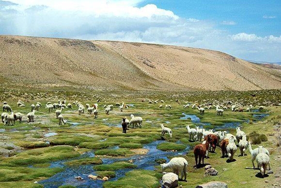 Alpagas dans des paturages de montagne au Pérou