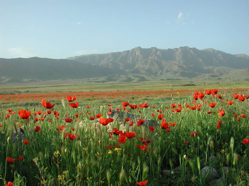 Paysage d'Arménie de champs avec des coquelicots et des montagnes en fond