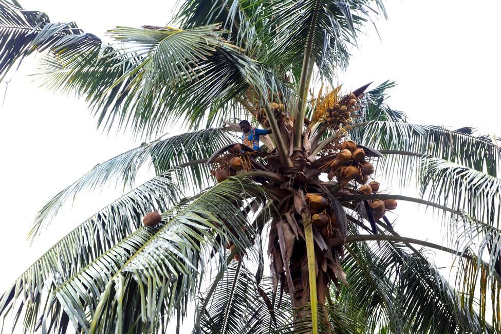 Enfant en haut d'un cocotier dans un village au Togo