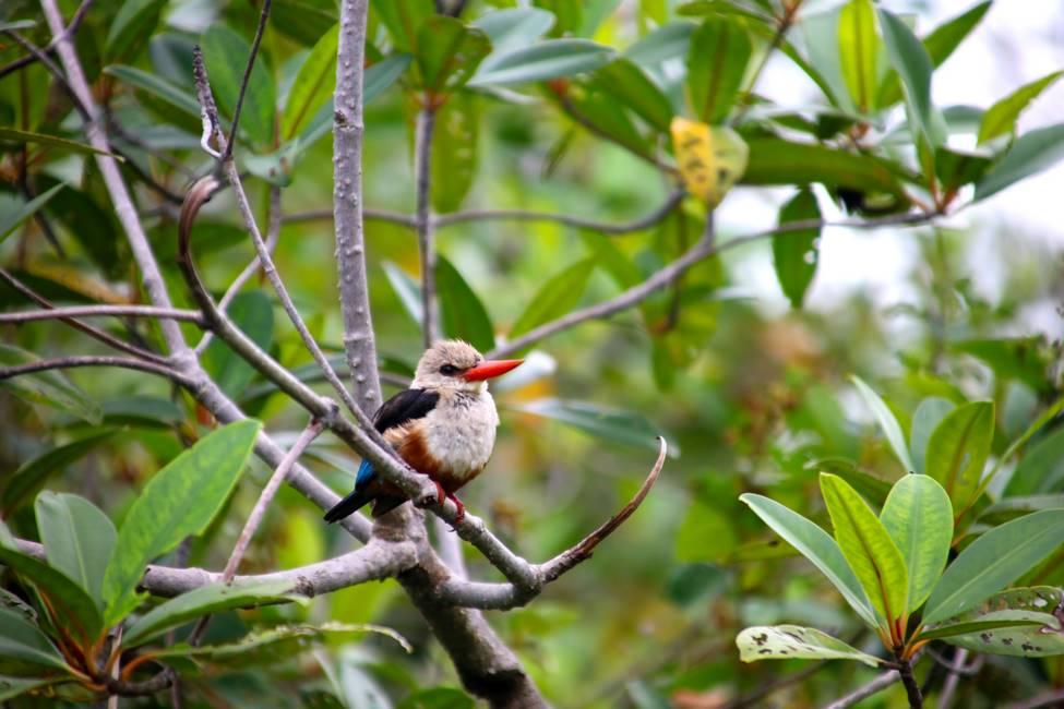 Oiseau de la mangrove au Bénin