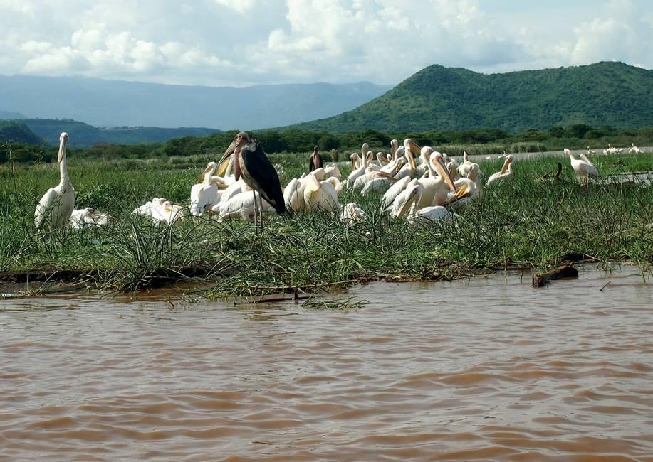 Oiseaux sur le lac Chamo proche d'Arba Minch au sud de l'Ethiopie