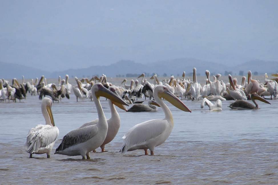 Pélicans sur le lac Chamo au sud de l'Ethiopie