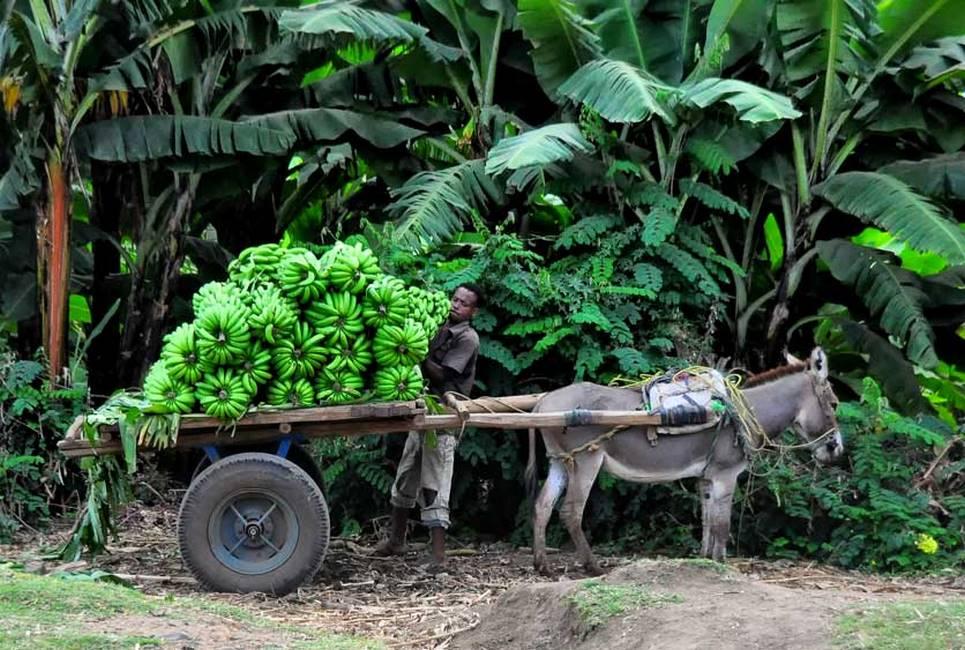 Récolte de bananes au sud de l'Ethiopie