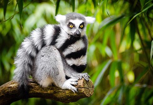 Lémurien Maki Catta dans un parc à Madagascar