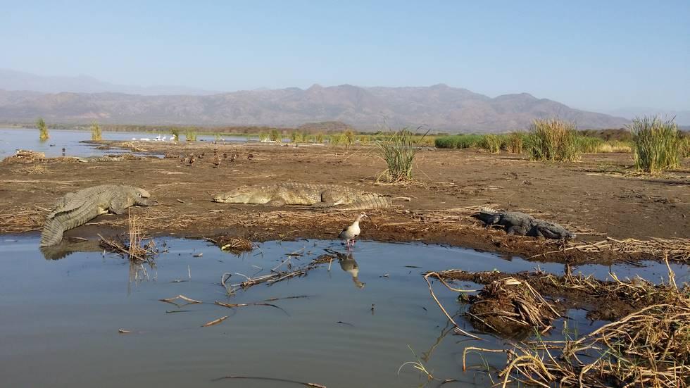 Crocodile au bord du lac Chamo au sud de l'Ethiopie