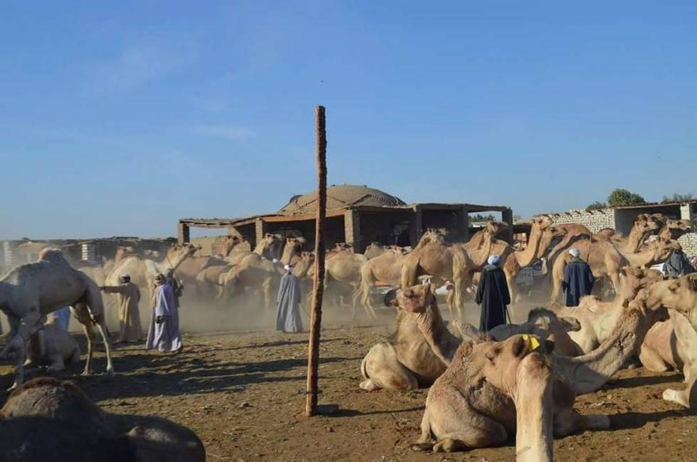 Marché au chameaux à Daraw près d'Assouan dans le sud de l'Egypte