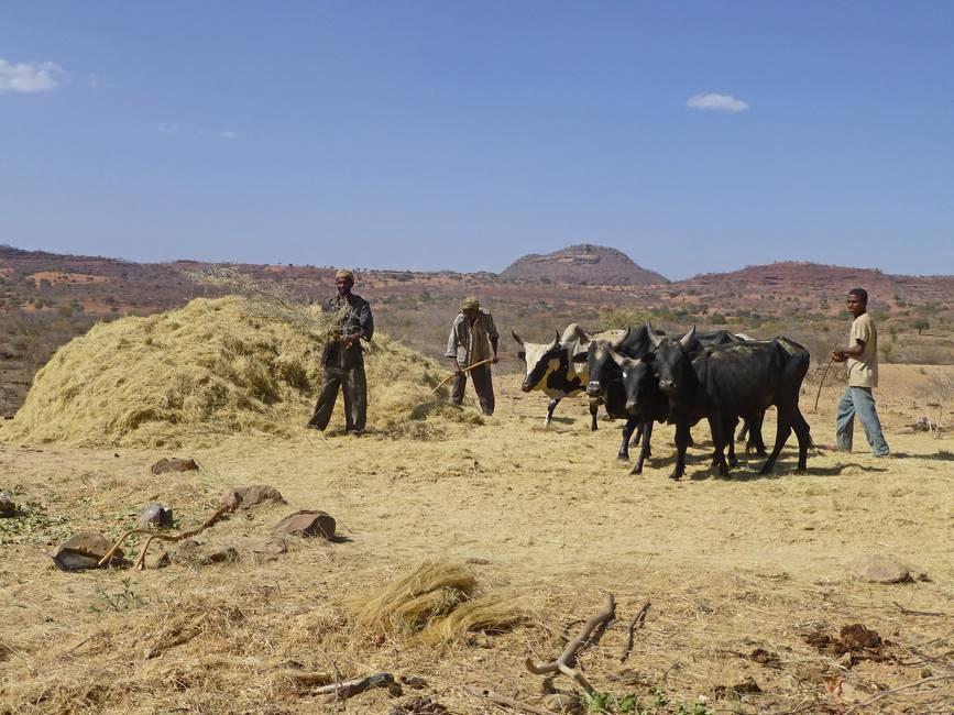 Homme battant le teff dans le sud de l'Ethiopie