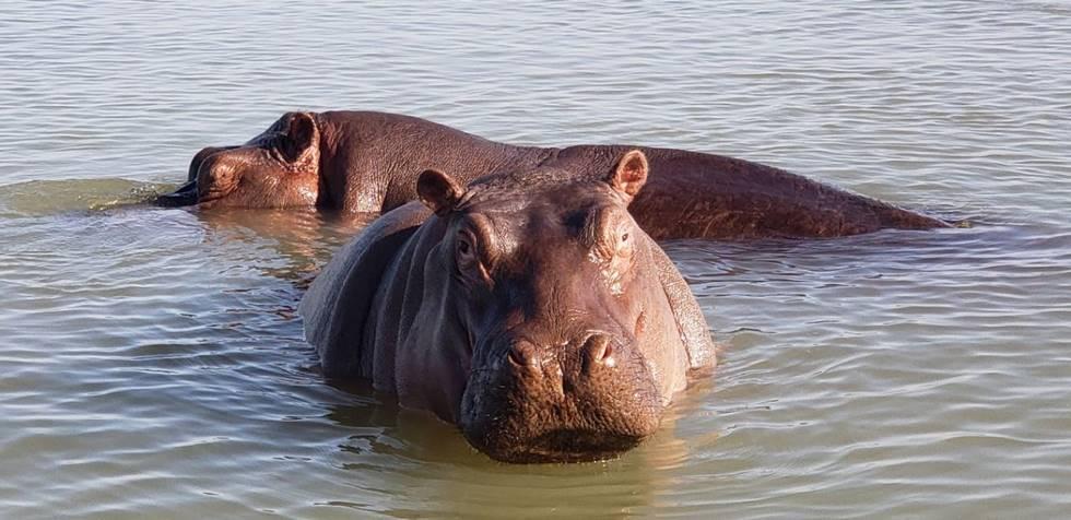 Hippopotames dans le lac Chamo au sud de l'Ethiopie