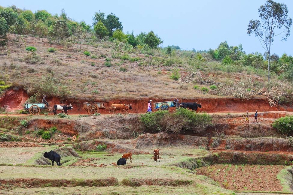 Charettes à zébu dans un village à Madagascar