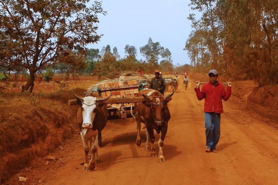 Une charette à zébu transportant des briques sur un chemin en terre rouge à Madagascar