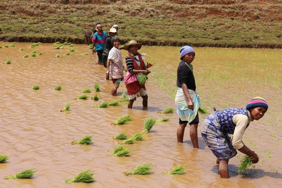 Malgaches repiquant le riz dans les rizières des hautes-terres à Madagascar