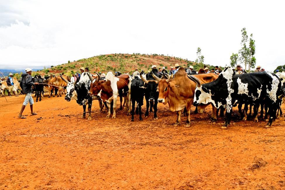 Marché au zébu de Ambalavao à Madagascar