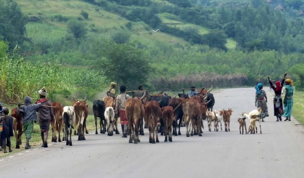 Paysan avec son bétail sur une route en Ethiopie
