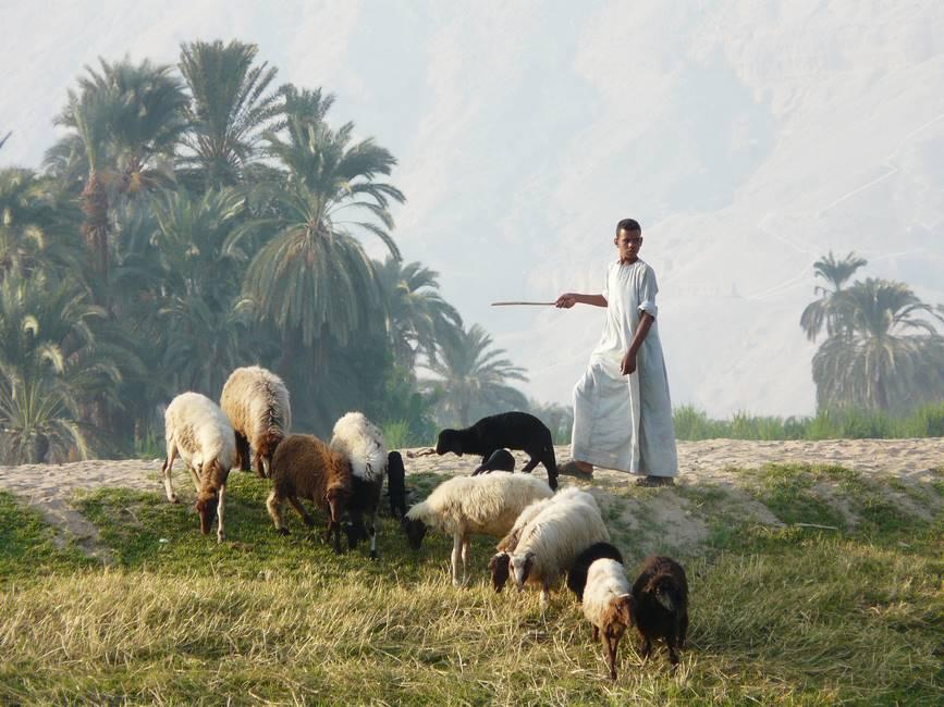 Enfant gardajt ses moutons dans des paturages au bord du Nil en Egypte
