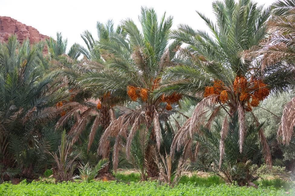 Palmiers dattiers de l'oasis du Ziz près d'Errachidia au Maroc