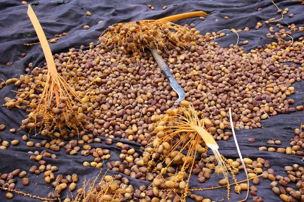 Cueillette des dattes au Maroc