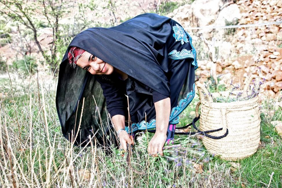 Cueillette des plantes aromatiques à Tafraoute au Maroc