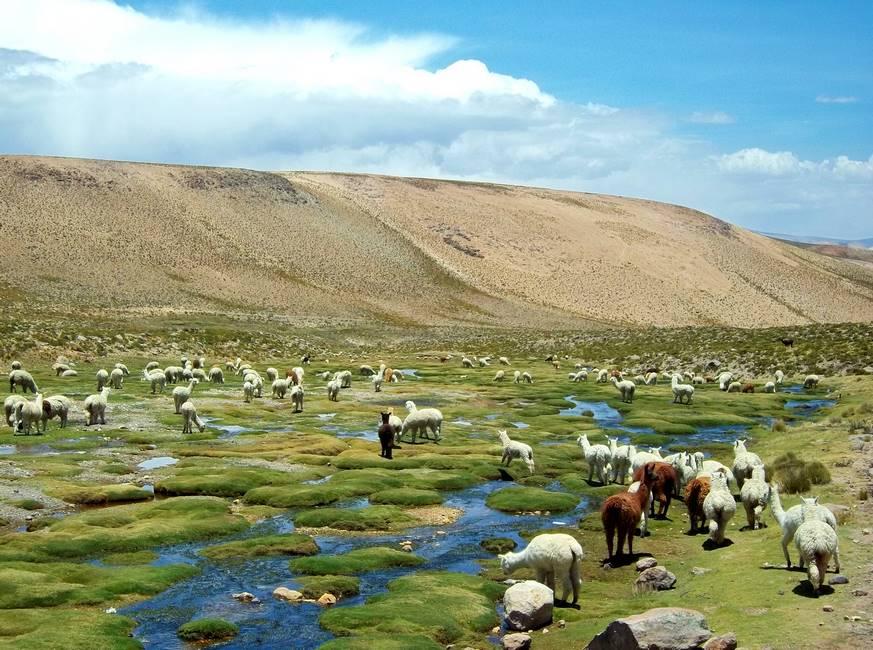 Troupeau d'alpaga dans les montagnes des Andes au Pérou