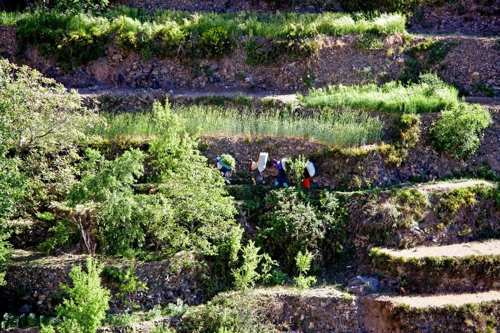 Femmes berbères portant des sacs de fourage au milieu des cultures en terrasse des montagnes de l'anti-Atlas au Maroc
