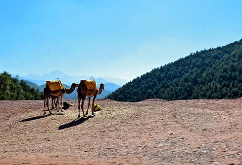 Balade en dromadaire dans les montagnes de l'Ourika dans le haut-Atlas au Maroc
