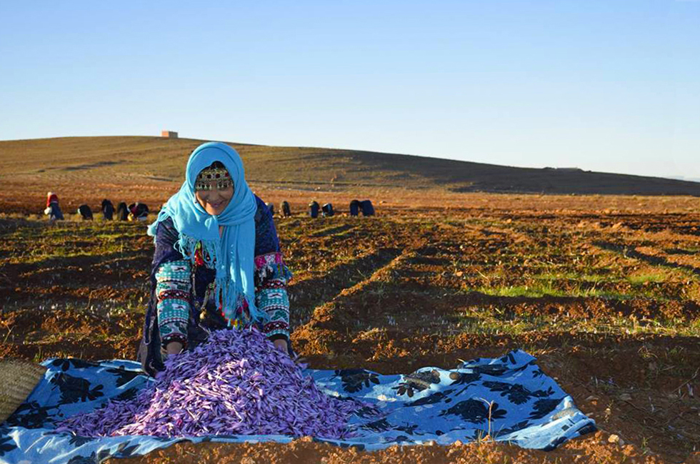 Récolte du safran dans la région de Taliouine dans l'anti-Atlas au Maroc