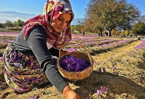Récolte du safran à Taliouine au Maroc