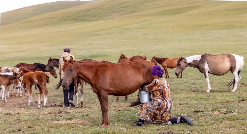 Bergère nomade qui traie une jument au Kirghiszistan