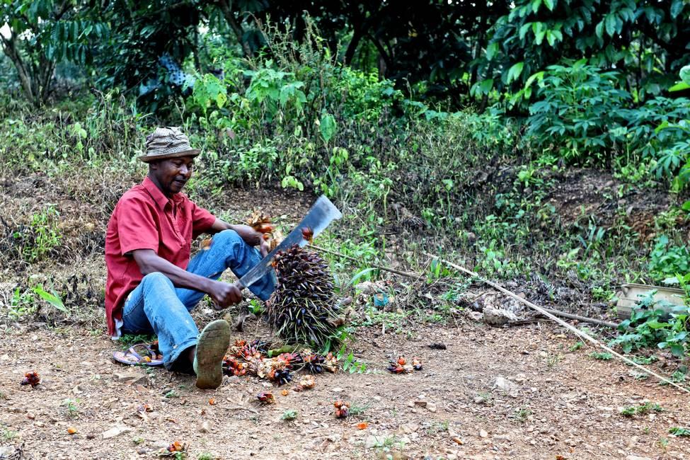 Togolais qui coupe les fruits d'un palmier pour faire de l'huile rouge