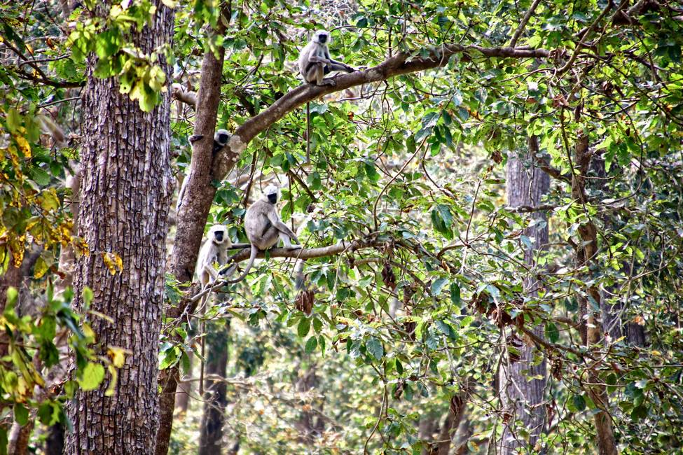 Singe dans le parc national de Bardia dans le Téraï au Népal
