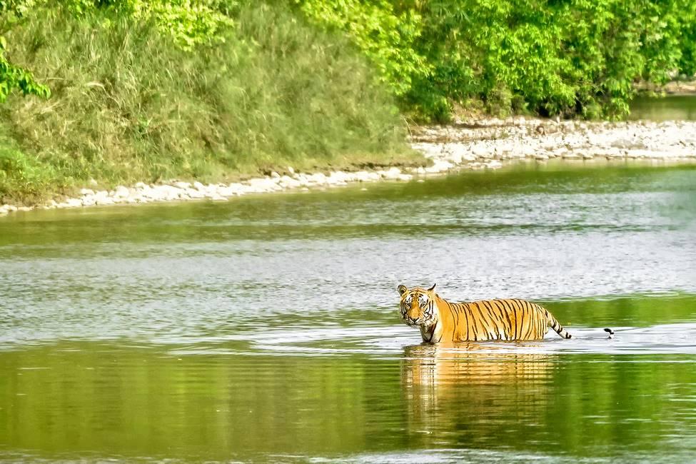 Tigre du Bengale dans le parc national de Bardia dans le Téraï au Népal