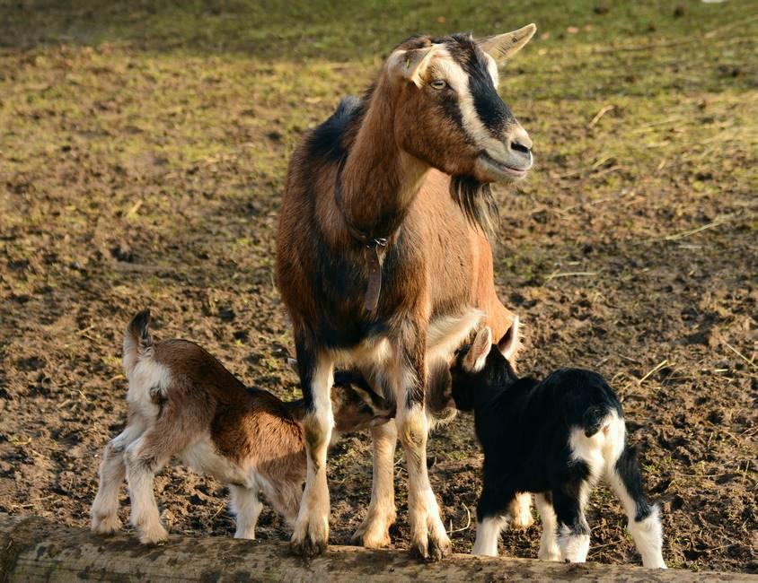 Chèvre dans une ferme de l'Ardèche