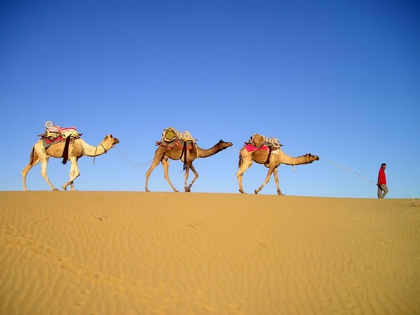 Dromadaire dans le désert du Thar au Rajasthan