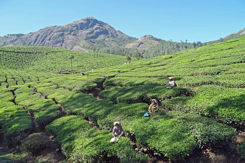 Cuillette de thé dans les plantations du Kérala au sud de l'Inde