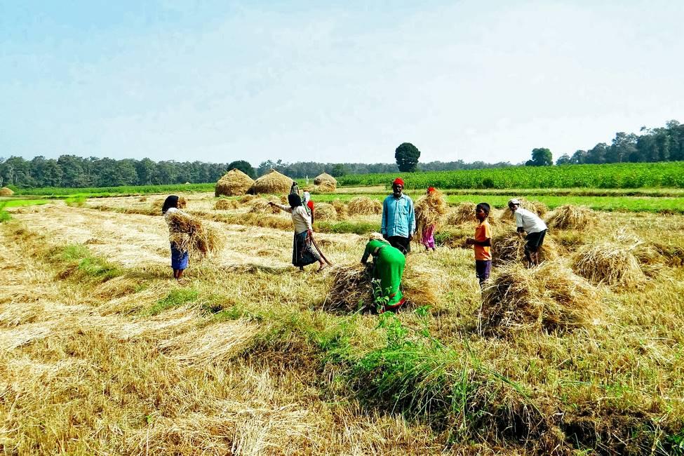 Récolte du riz dans un village rural au Rajasthan dans le nord de l'Inde