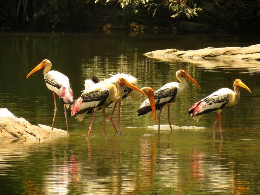 Sanctuaire d'oiseaux de Thattekkadu dans le Kérala au sud de l'Inded