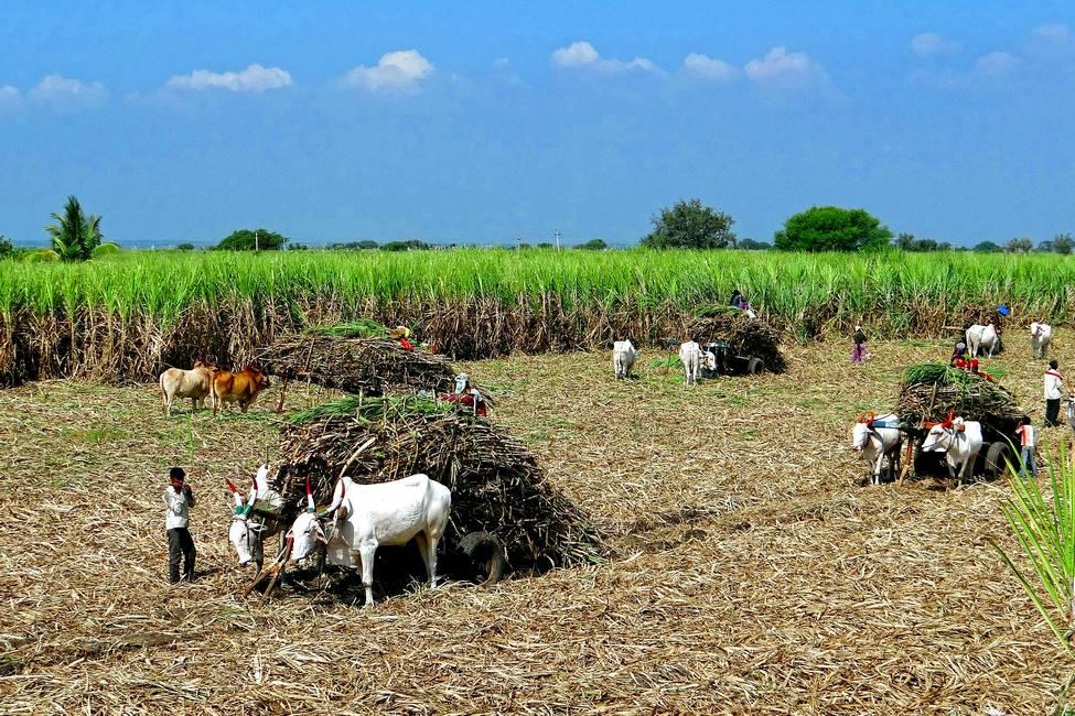 Ramassage de la canne à sucre au Rajasthan dans le nord de l'Inde